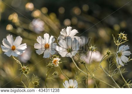 Cosmos Flowers Close-up In Front Of Blurred Nature Backgrounds. Bokeh Concept, Selective Focus. Sun