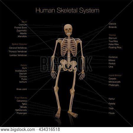 Skeleton Anatomy - Human Skeletal System Chart - Labeled With Most Important Bones Like Skull, Spina