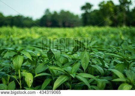 Jute Mallow Plant, Saluyot, Jute, Jew's Mallow, Egyptian Cotton Spinach, Bush Okra, Western World