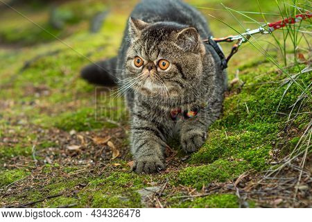 Cute Brown Striped Cat Exotic Walks On A Leash In The Park On A Summer Day. Persian Kitten On The Gr