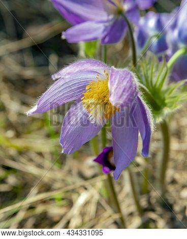 An Open Flower Of A Snowdrop Or Dream-grass Or Pulsatilla Patens Close-up. Taiga Wild Flower, Primro