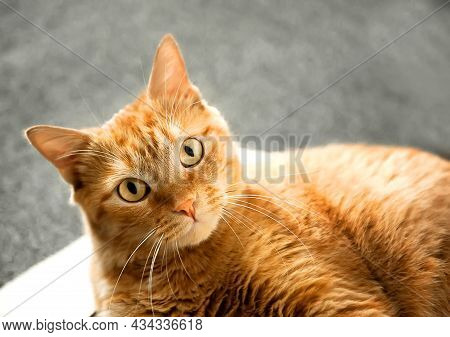 The Muzzle Of A Ginger Cat Close-up Looks Into The Frame, Selective Focus. Concept For Veterinary Cl