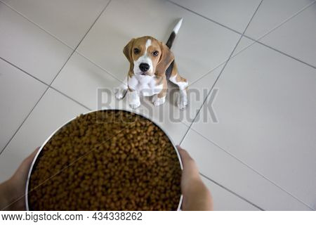 Funny Beagle Puppy Is Sitting On The Tile Floor With Its Paws Spread Apart And Gazes Up At A Huge Bo