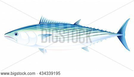 Atlantic Bonito Fish In Side View Illustration