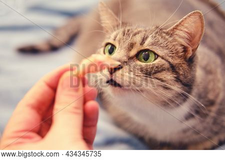 A Hungry Cat Sniffs A Piece Of Meat In A Man's Hand, Close-up