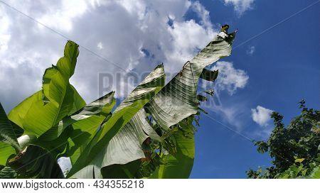 Green Banana Leaf In Nature, Banana Leaf