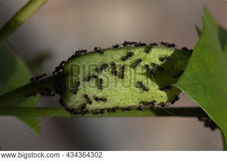 Black Ants On Flower Petals, Black Ants