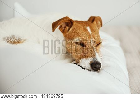 Dog Sleeps At Bed. Pet Resting At Home. Jack Russell Terrier Relaxing