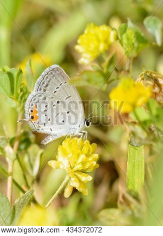 Tiny Eastern Tailed-blue butterfly getting nectar from a yellow clover flower