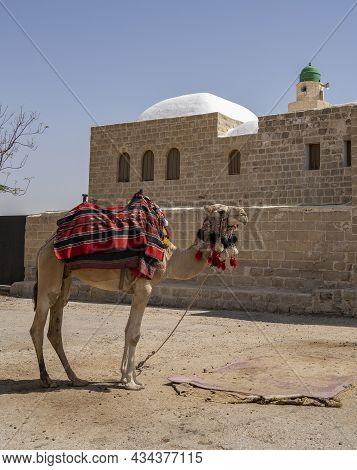 Nabi Musa, Israel - September 26th, 2021: A Fancy Camel Near The Prophet Moses Mausoleum In The Jude