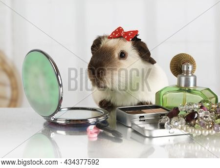 Funny Guinea Pig Looks In A Cosmetic Mirror At The Makeup Table Indoors