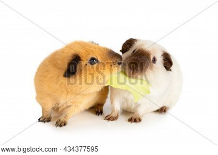 Lunch Time. Two Funny Guinea Pigs Eating One Cabbage Leaf Isolated On A White Background