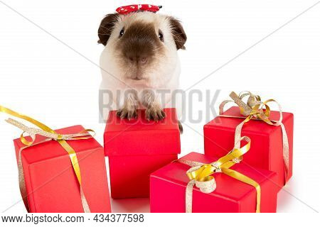 Charming Guinea Pig With Holiday Gifts Isolated On A White Background