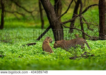 Two Adult Indian Wild Male Leopard Or Panther In Natural Green Background Rainy Monsoon Season Durin