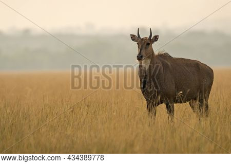 Adult Male Nilgai Or Blue Bull Or Boselaphus Tragocamelus A Largest Asian Antelope Side Profile In O