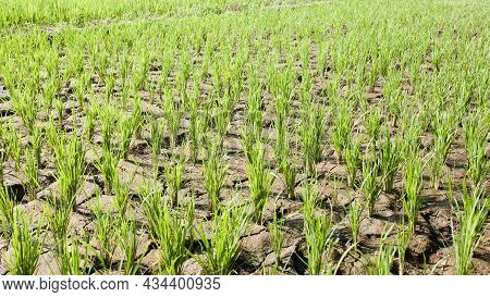 Cracked Soil In Rice Field Seeding In Organic Farm On High Temperature, Close Up Green And Brown Ric