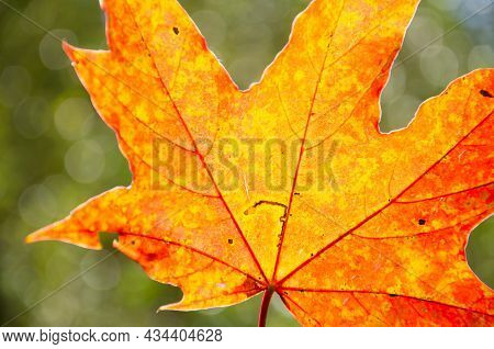 Autumn Composition Of Colorful Foliage. Close-up Yellow, Orange, Red Maple Leaf On Green Blurred Bok