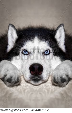Siberian Husky Dog Is Lying On The Bed. Husky Dog Puts His Head Between His Paws And Looks At The Ca
