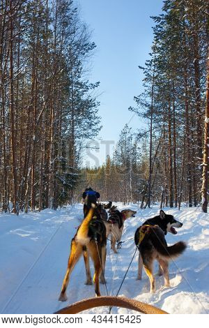 Husky sled carrying a sleigh with tourists. Exotic trip to the Arctic. The sun is low on the horizon. Travel to Santa Claus. Short winter day in the Lapland