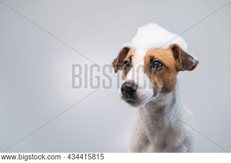 Funny Dog Jack Russell Terrier With Foam On His Head On A White Background. Copy Space.