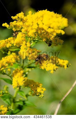 Bees And Wasps Collect Nectar From Yellow Flowers On Blurred Background With Bokeh. Natural Backgrou