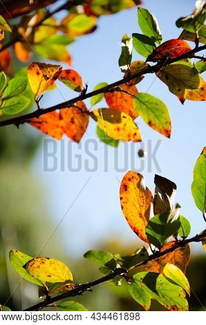 Bright Leaves With Berries On Branches Of Bush With Copy Space. Orange, Green And Burgundy Leaves On