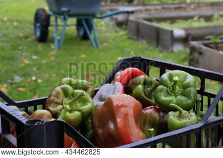Bell Pepper, Paprika In A Basket. Harvest Time For Farmers And Gardeners, Organic Gardening. Harvest