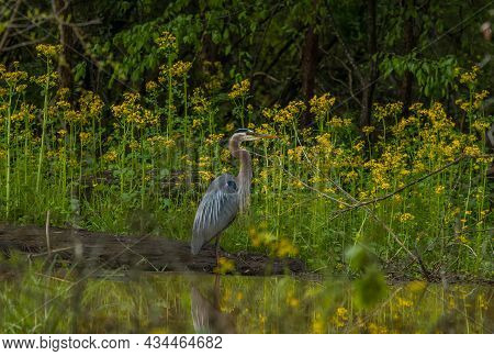 Blue Heron Standing Still In The Shallow Waters In The Wetlands With Tall Yellow Butterweed Plants A