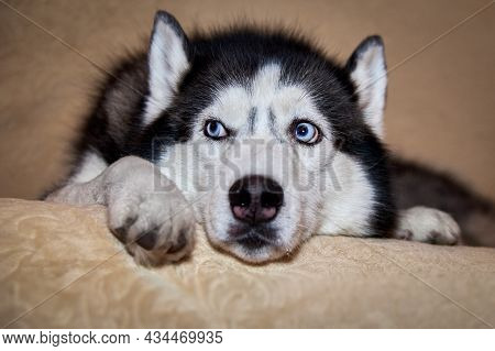 Siberian Husky Dog Is Lying On The Bed. Husky Dog Puts His Head Between His Paws And Looks Away. Por