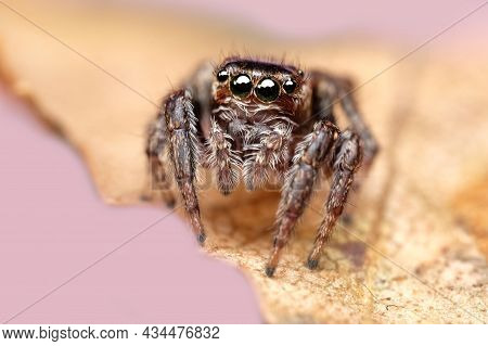 Close-up Of A Beautiful Spider, Super Macro Image Of A Jumping Spider (salticidae) On A Yellow Autum