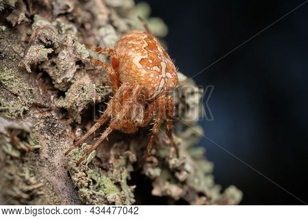 The Spider Araneus Hid In The Bark Of A Tree, The Spider Spider Sits On A Birch. Selective Focus