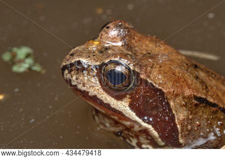 Marsh Frog (pelophylax Ridibundus), In Natural Habitat, Russia. Wildlife Scene From Nature. Beautifu