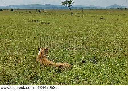A Wild Lioness Lies On The Green Grass In The African Savanna. Ears Flattened. View From The Back. S