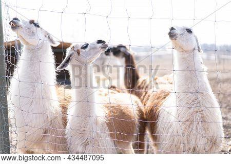 Group Cute Animal Alpaka Lama On Farm Outdoors With Funny Teeth