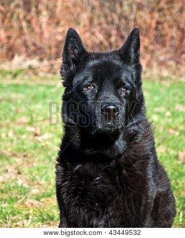 Black Lab Mix Dog Portrait Outdoors
