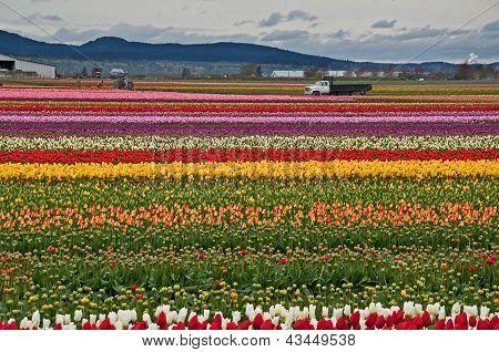 Rows Of Brilliant Tulips On Farmland