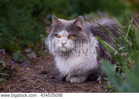 Cat Is Lying In The Garden. Cat With Flowers Outdoor.cat Posing Near Blooming Flowers In A Garden.