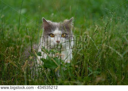 Grey Cat Playing In Garden. Cat In The Garden