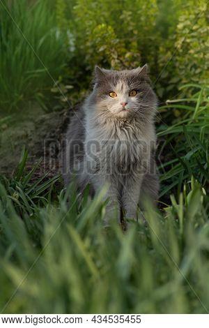 Portrait Cat In Green Summer Grass. Kitten Walking In Grass