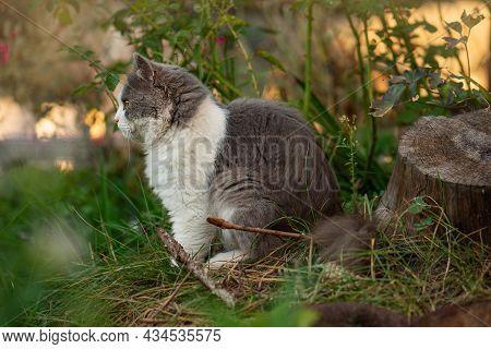 Cute Kitten Walking Outdoor In The Grass. Portrait In Profile. Cat Looking Away