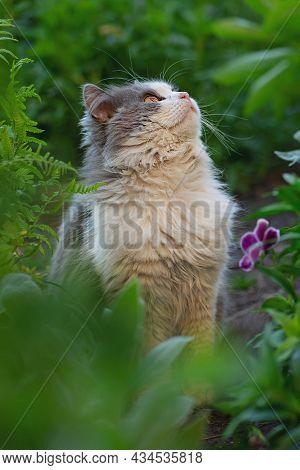 Gray Fluffy Cat. Short Hair Cat Modeling Photo. Cat In Garden. Cat Portrait Close Up.