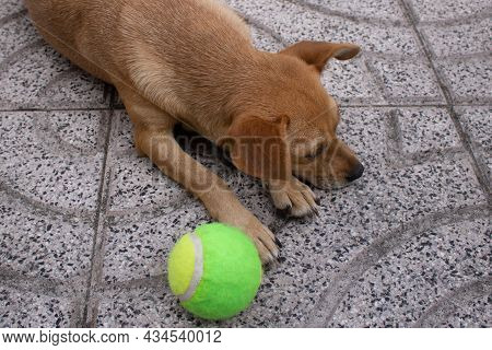 Mixed-breed Fawn Dog Lying Down On A Tiled Floor Looking Away Next To A Tennis Ball And Ignoring It.
