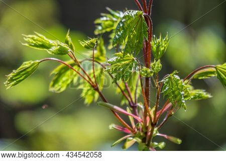 Spring Branches Of Maple Tree With Fresh Green Leaves. Spring Background With Copy Space
