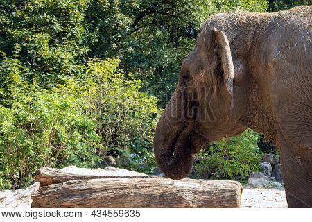 Elephants In The Zoo. Biggest African Mammal.