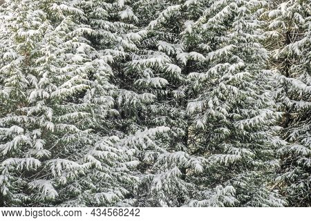 Lush Of Fir Trees Covered With Snow. Natural Texture Backdrop