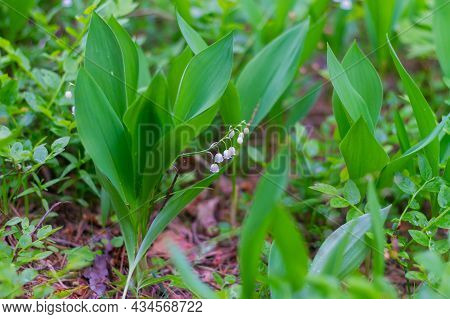 Lilies Of The Valley Bloom In The Forest With White Delicate Fragrant Flowers Similar To Bells.
