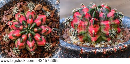 Gymnocalycium Mihanovichii Is A Type Of Cactus Or Succulents Tree That Is Bred From Thailand.