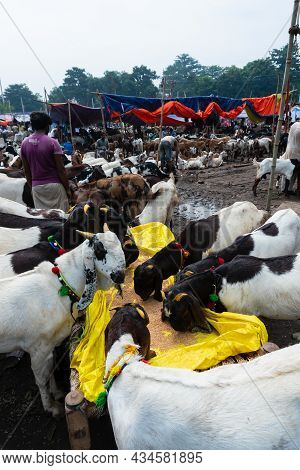 Kolkata, West Bengal, India - 11th August 2019 : Goat Seller Feeding Goats Which Are Being Sold In M
