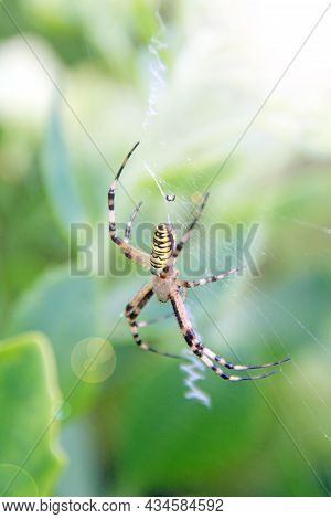 Black And Yellow Agriope Garden Spider. Agriope Aurantia. Black And Yellow Garden Spider On Web