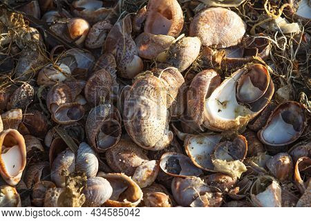 Close Up Of Many Seashells That Were Washed Up On The Beach After The Tide Rolled Out With Seaweed M